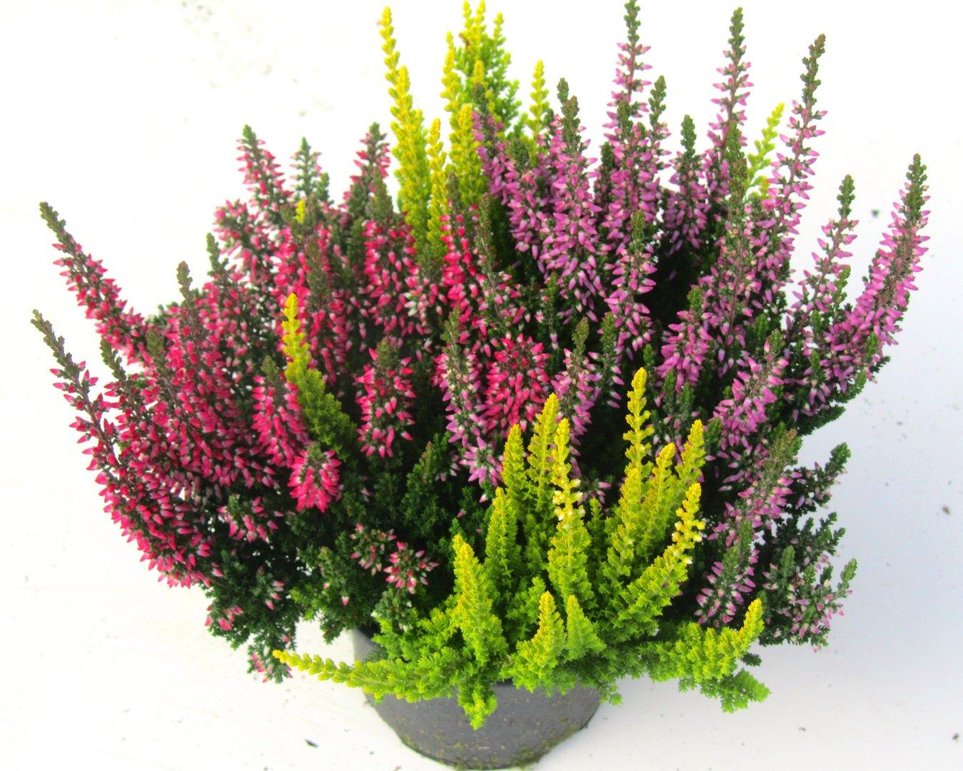 calluna vulgaris besenheide heidekraut trio 9 cm topf pflanzen versand f r die besten. Black Bedroom Furniture Sets. Home Design Ideas