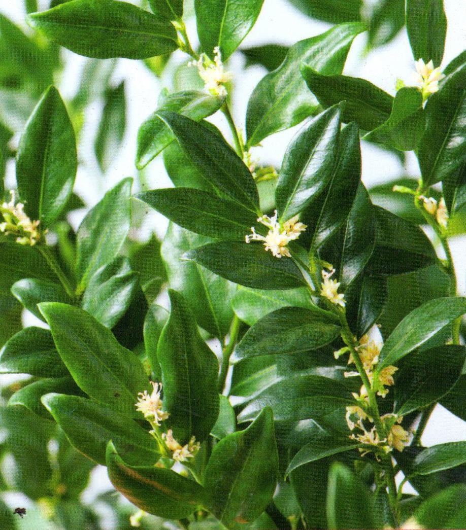 Sarcococca confusa fleischbeere pflanzen versand f r for Versand zimmerpflanzen
