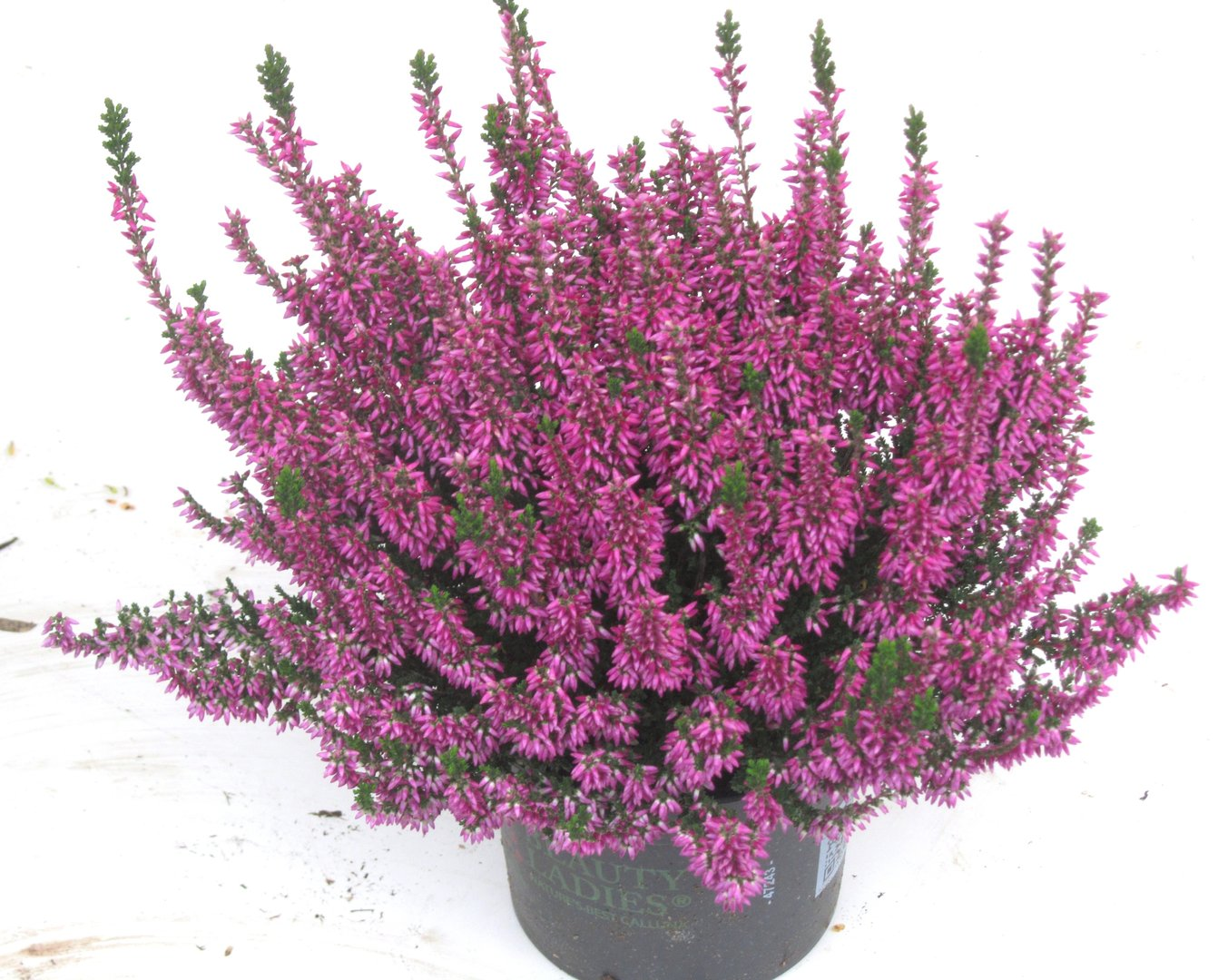 calluna vulgaris besenheide heidekraut lila 12 cm topf pflanzen versand harro 39 s. Black Bedroom Furniture Sets. Home Design Ideas