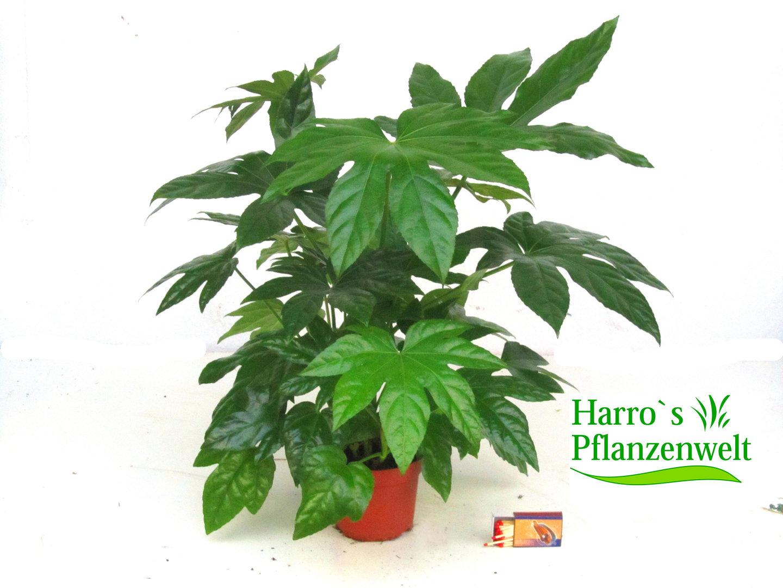 Fatsia japonica aralie kaufen herausragende qualit t for Shop zimmerpflanzen