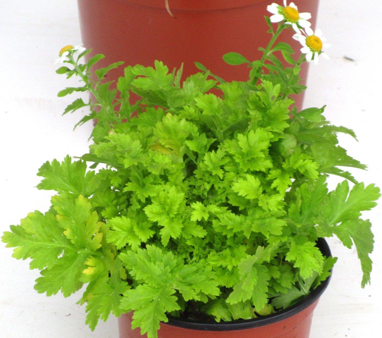 tanacetum parthenium 39 aureum 39 pflanzen versand bestellen im online shop. Black Bedroom Furniture Sets. Home Design Ideas
