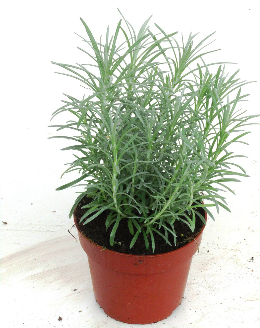 currykraut kr uterpflanzen im pflanzenversand harro 39 s pflanzenwelt online kaufen. Black Bedroom Furniture Sets. Home Design Ideas