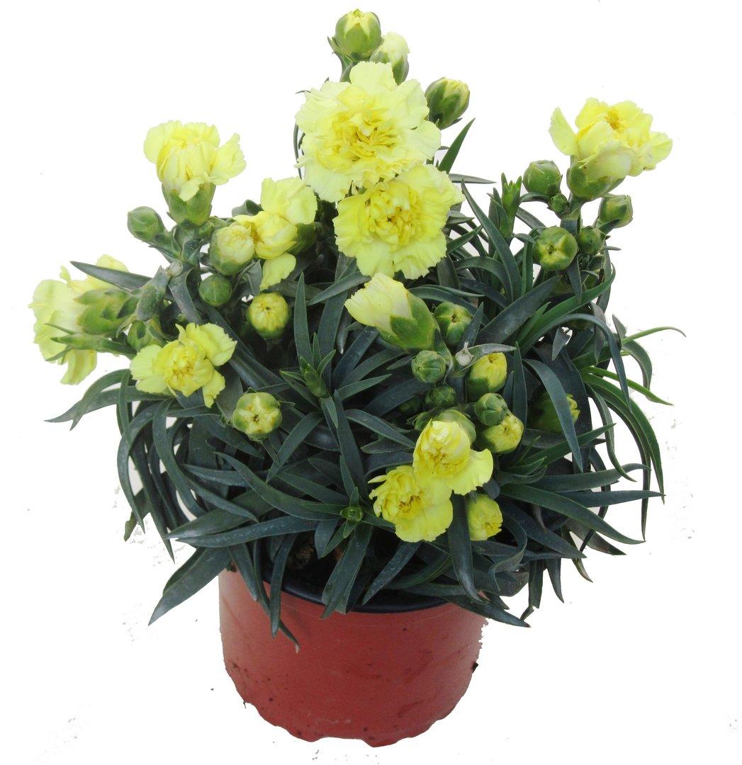dianthus caryophyllus nelke plfanze pflanzen versand. Black Bedroom Furniture Sets. Home Design Ideas