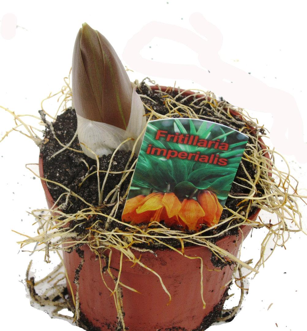 fritillaria imperialis kaiserkrone pflanzen versand f r die besten winterharten. Black Bedroom Furniture Sets. Home Design Ideas