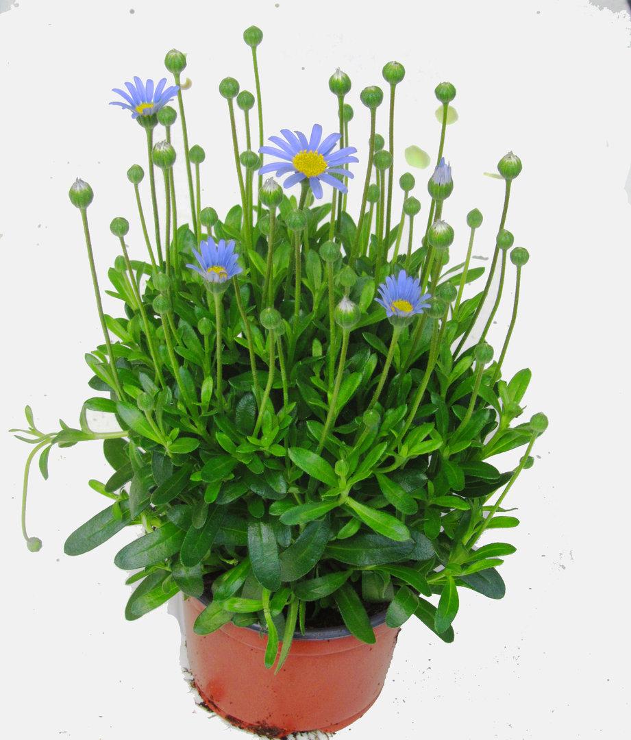 kapaster felicia amelloides pflanzen versand harro 39 s pflanzenwelt kaufen bestellen im online. Black Bedroom Furniture Sets. Home Design Ideas