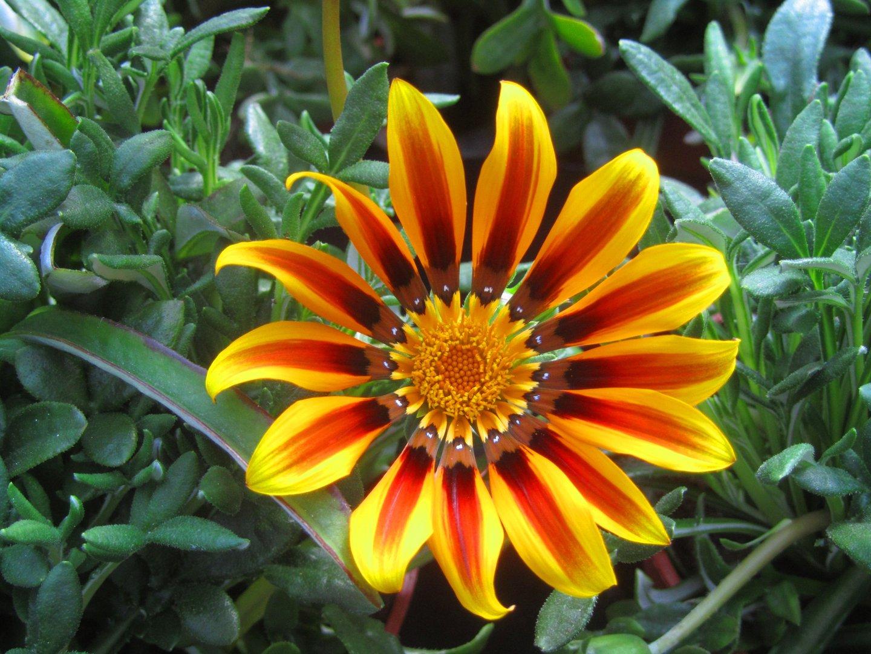 gazania mittagsgold pflanzen versand harro 39 s pflanzenwelt kaufen bestellen im online shop. Black Bedroom Furniture Sets. Home Design Ideas
