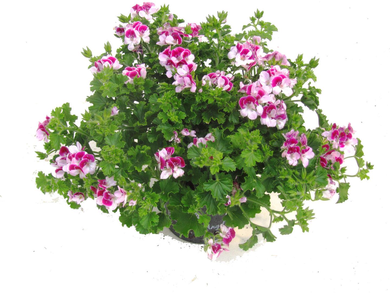 pelargonium 39 ange eyes 39 pflanzen versand harro 39 s pflanzenwelt kaufen bestellen online. Black Bedroom Furniture Sets. Home Design Ideas