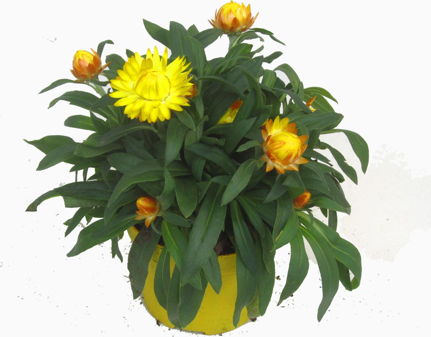 bracteantha strohblume gelb pflanzen versand f r die besten winterharten balkonpflanzen. Black Bedroom Furniture Sets. Home Design Ideas