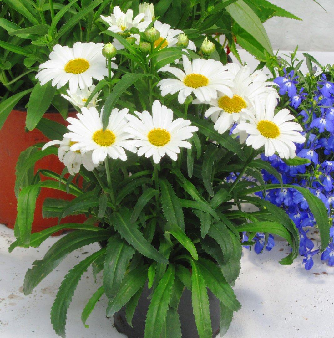 pflanzen versand harro 39 s pflanzenwelt sommerpflanzen. Black Bedroom Furniture Sets. Home Design Ideas