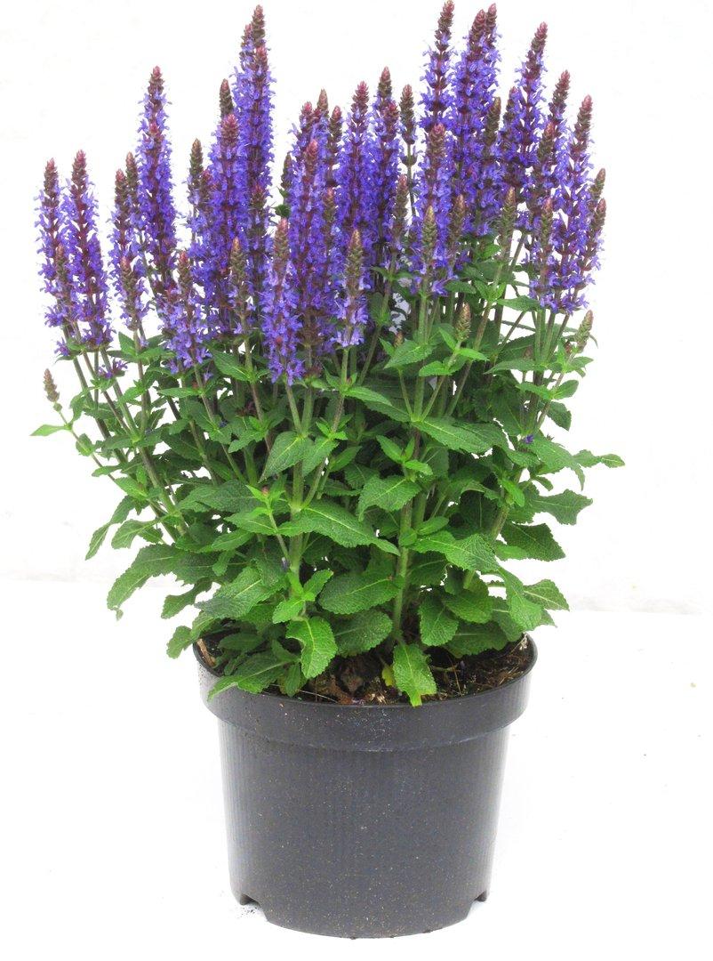salvia nemerosa hain oder steppensalbei pflanzen versand harro 39 s pflanzenwelt gartenblumen. Black Bedroom Furniture Sets. Home Design Ideas