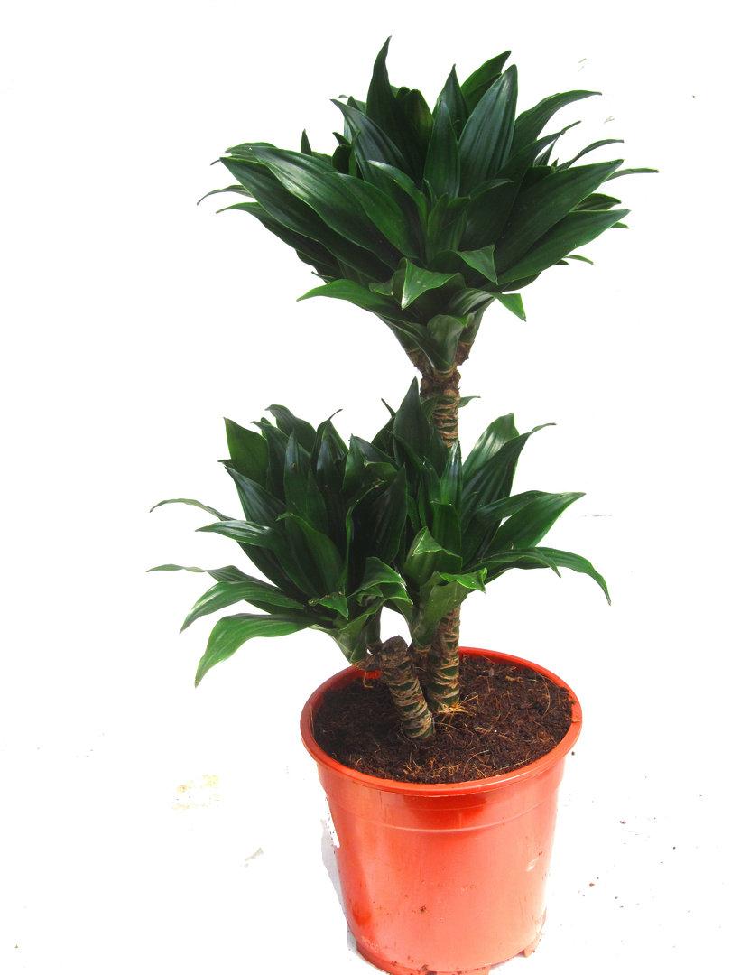 dracaene marginata bicolor drachenbaum zimmerpflanzen. Black Bedroom Furniture Sets. Home Design Ideas