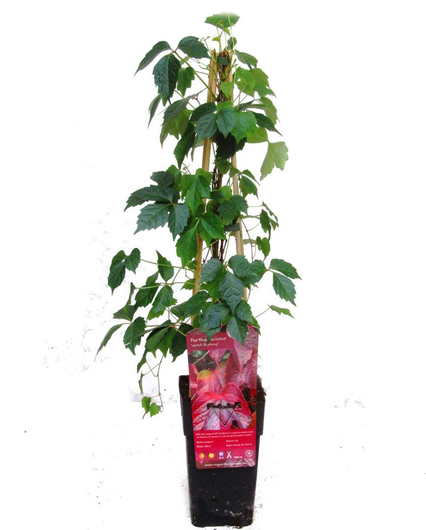 parthenocissus quinquefolia wilder weint kaufen. Black Bedroom Furniture Sets. Home Design Ideas