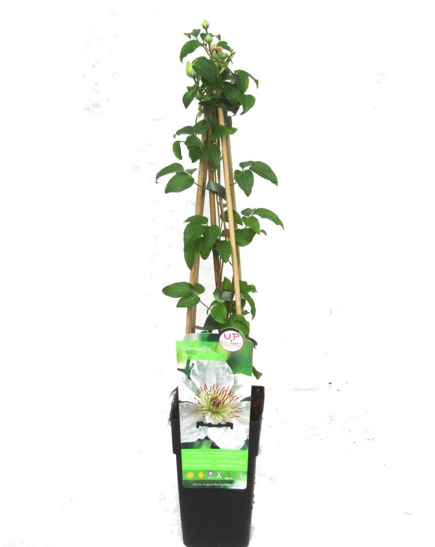 clematis wei waldrebe kaufen pflanzen versand harro 39 s. Black Bedroom Furniture Sets. Home Design Ideas