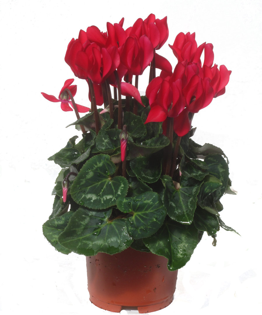 Cyclamen persicum rot alpenveilchen pflanzen versand for Versand zimmerpflanzen