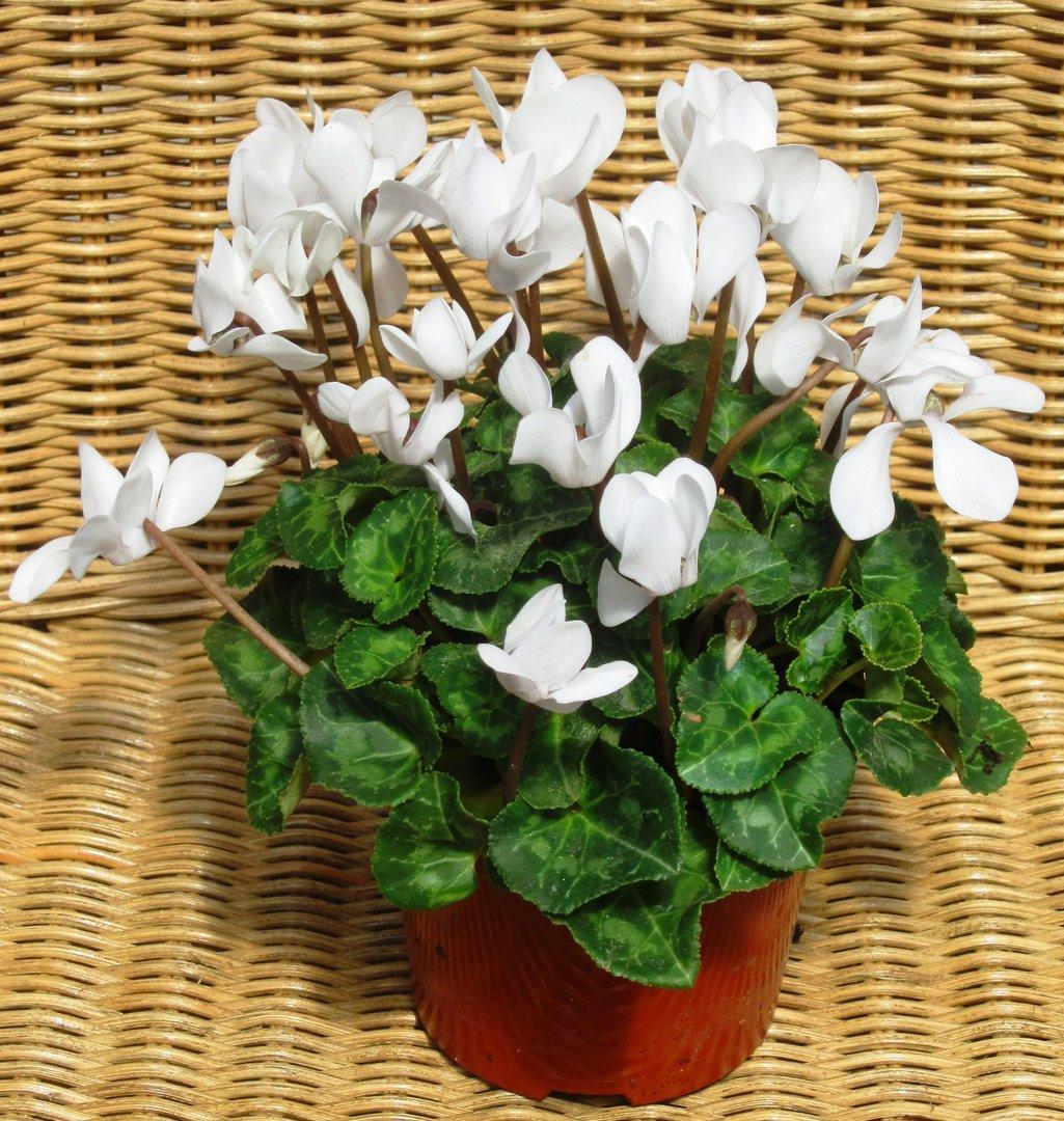 cyclamen persicum wei alpenveilchen pflanzen versand harro 39 s pflanzenwelt kaufen bestellen. Black Bedroom Furniture Sets. Home Design Ideas