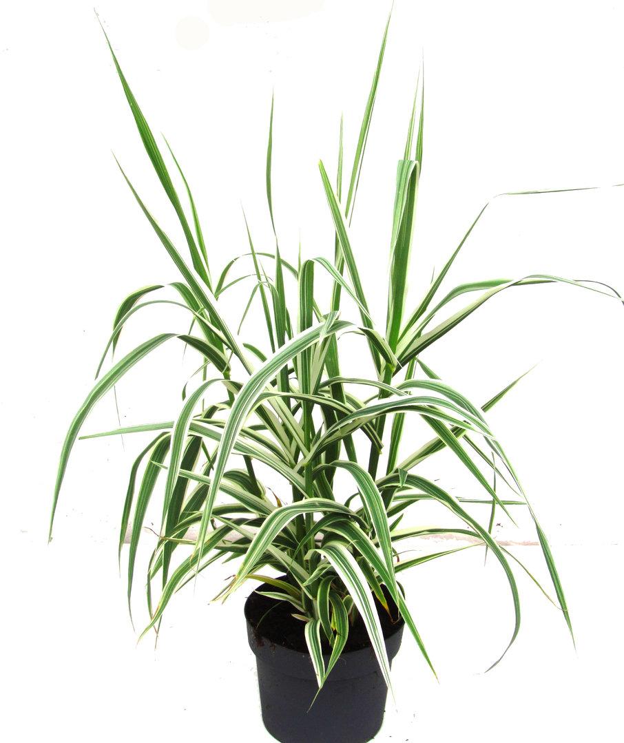 arundo donax variegata pfahlrohr gr ser pflanzen. Black Bedroom Furniture Sets. Home Design Ideas