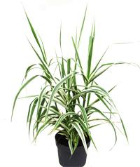 gr ser pflanzen versand f r die besten winterharten balkonpflanzen k belpflanzen zimmerpflanzen. Black Bedroom Furniture Sets. Home Design Ideas