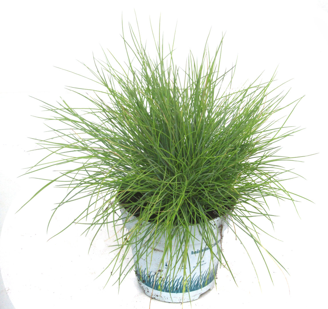 festuca glauca 'golden toupee' goldschwingel - gräser - pflanzen, Gartenarbeit ideen