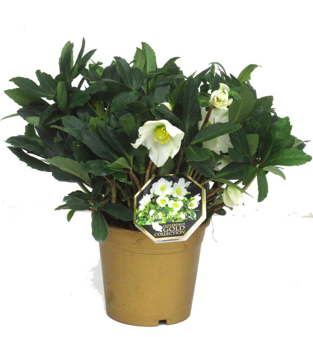christrosen kaufen helleborus niger 39 hgc jacob 39 schneerose oder nieswurz pflanzen versand. Black Bedroom Furniture Sets. Home Design Ideas