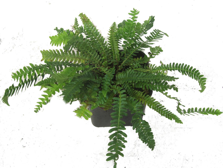 Rippenfarn blechnum spicant pflanzen versand f r die - Zimmerpflanzen schatten ...