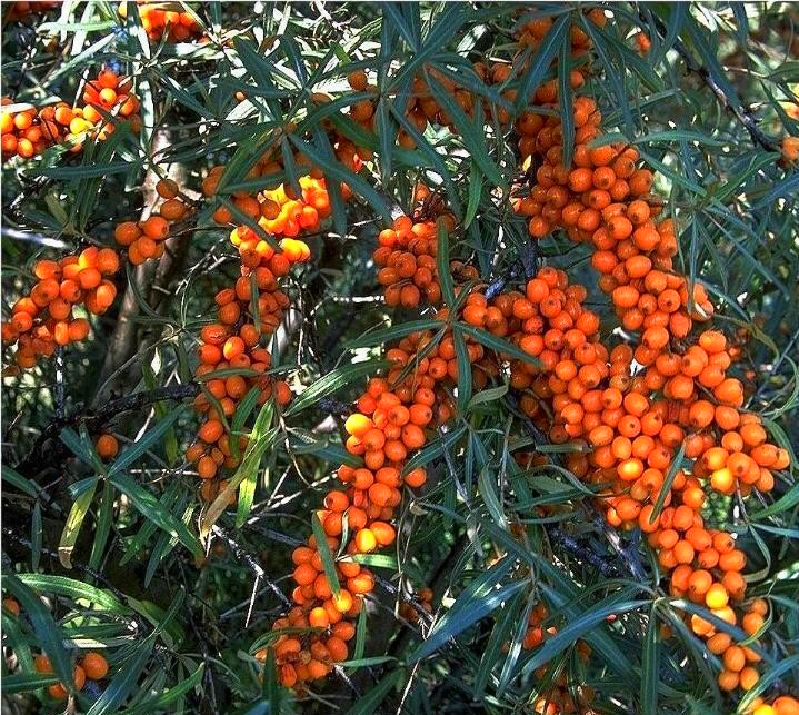 Sanddorn 'Friesdorfer Orange' - Wildobst online kaufen ...  Sanddorn 'F...