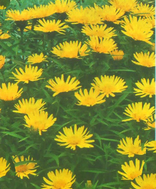 inula ensifolia gelb - zwergalant pflanzenversand alpine pflanzen,