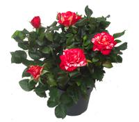 Zimmerpflanzen bl hend pflanzen versand harro 39 s for Zimmer pflanzenversand