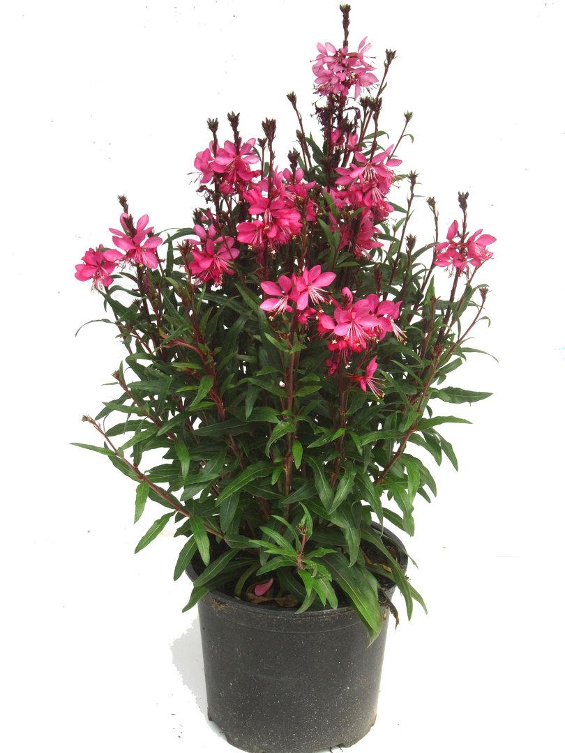 gaura lindheimerii rot pflanzen versand harro 39 s pflanzenwelt gartenblumen online pflanzenshop. Black Bedroom Furniture Sets. Home Design Ideas