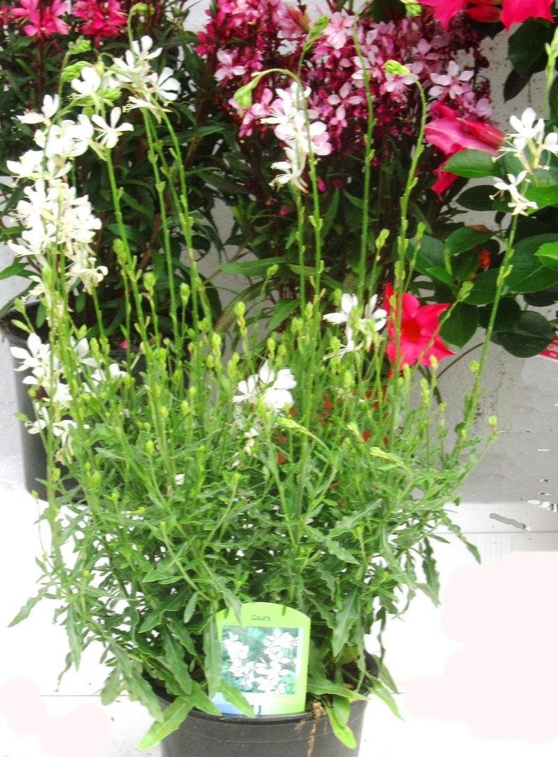 gaura lindheimerii wei pflanzen versand harro 39 s pflanzenwelt gartenblumen online pflanzenshop. Black Bedroom Furniture Sets. Home Design Ideas