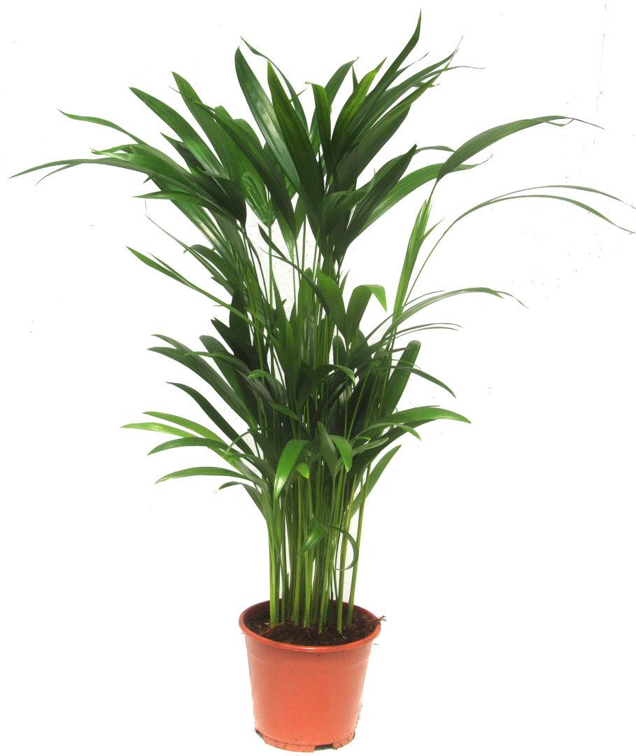 Zimmerpflanzen Palme dypsis lutescens areca palme zimmerpflanzen kaufen
