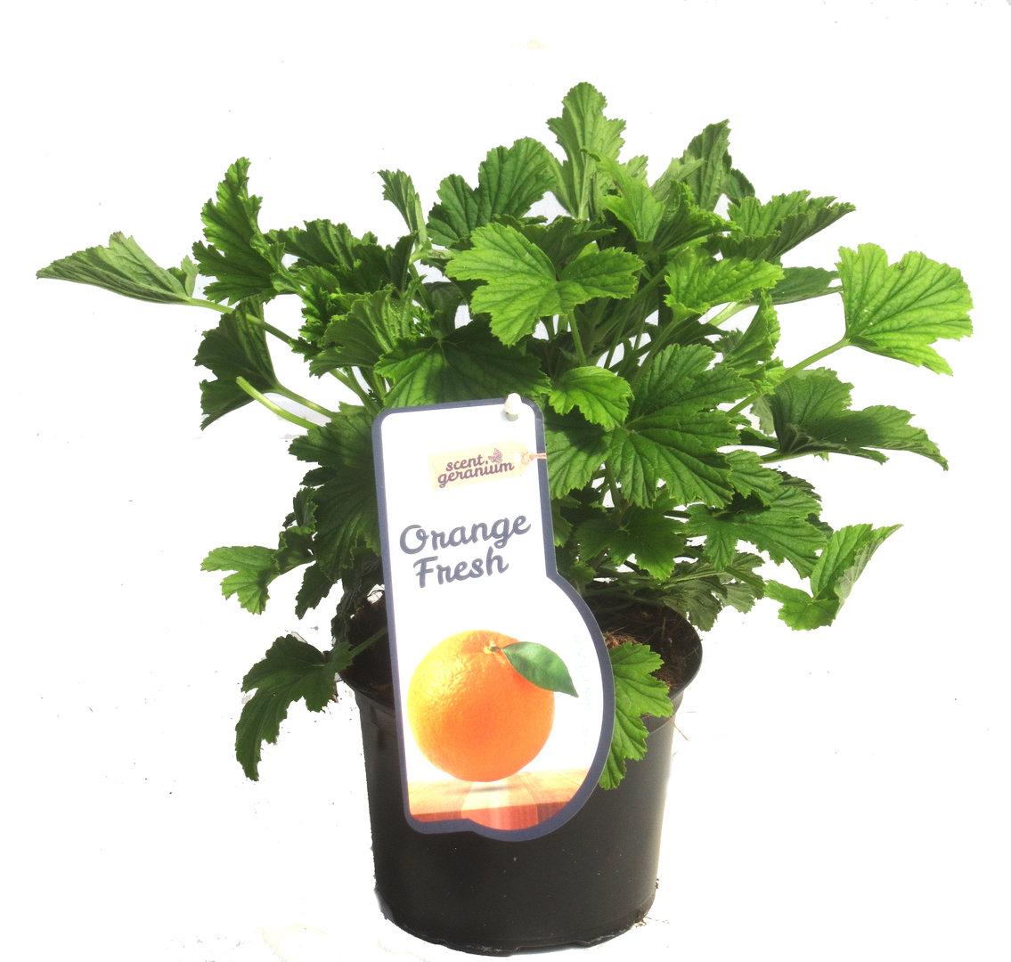 pelargonium pelargonium 39 orange fresh 39 duftgeranie pflanzen versand harro 39 s pflanzenwelt. Black Bedroom Furniture Sets. Home Design Ideas