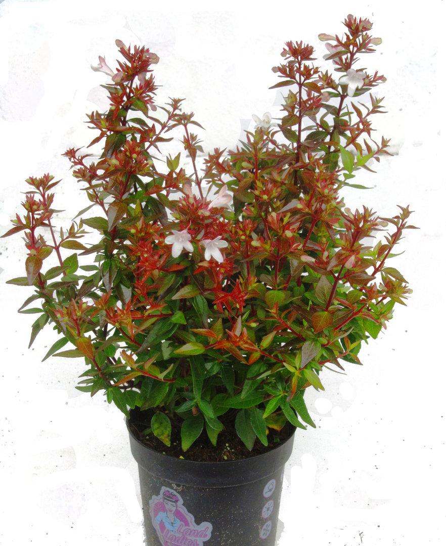 abelia grandiflora 39 land ladis 39 ablie pflanzen versand harro 39 s pflanzenwelt kaufen bestellen. Black Bedroom Furniture Sets. Home Design Ideas
