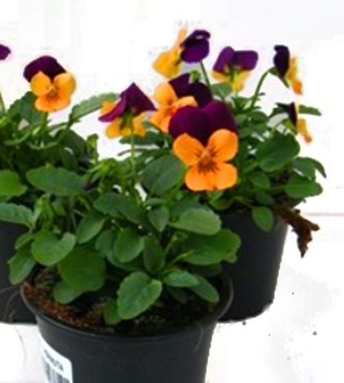 viola cornuta hornveilchen pflanzen versand harro 39 s. Black Bedroom Furniture Sets. Home Design Ideas