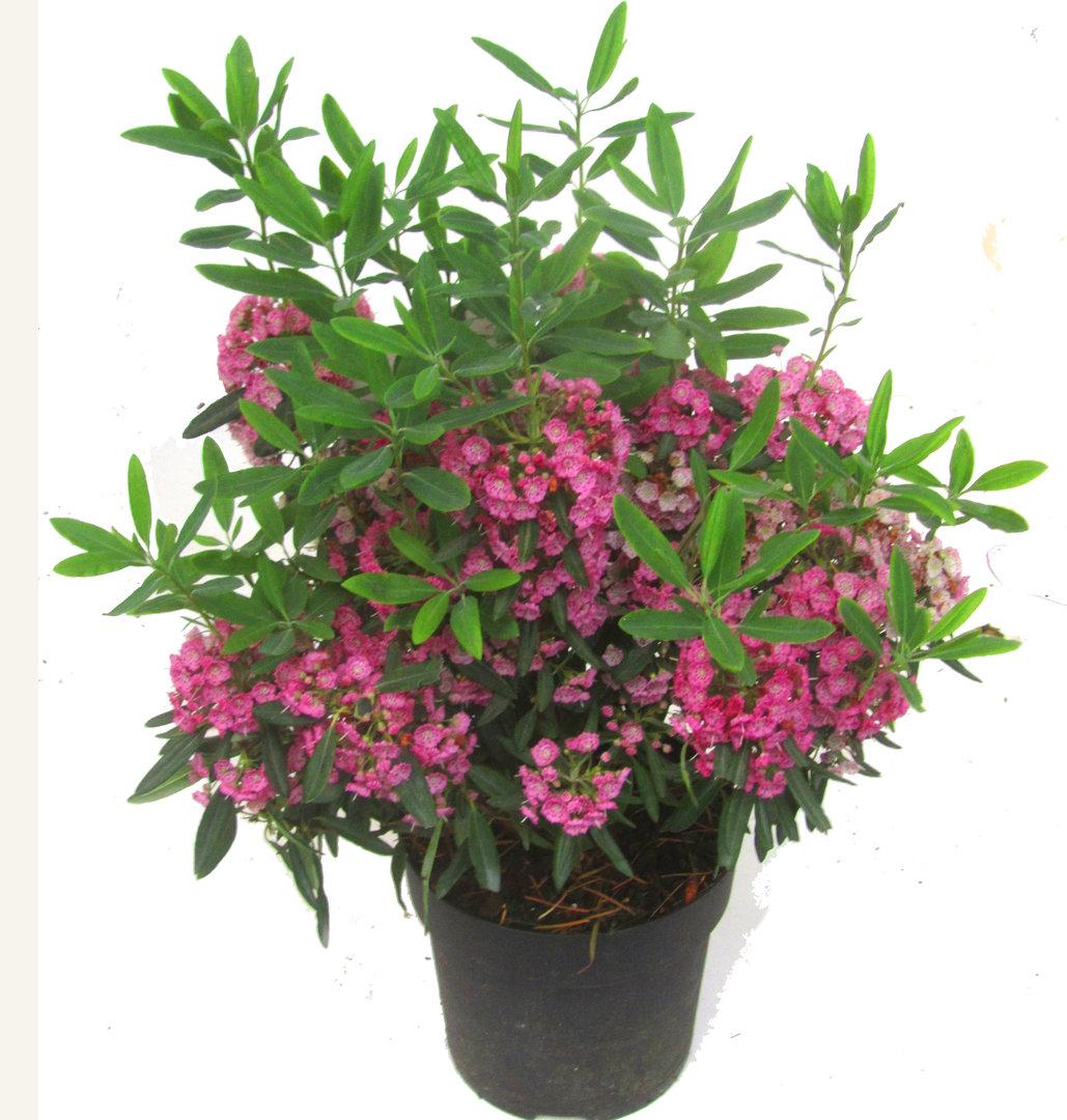 kalmia angustifolia 39 rubra 39 rotes lorbeerr slein winterharter immergr ner bl hender strauch. Black Bedroom Furniture Sets. Home Design Ideas