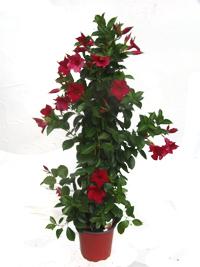 blumen f r blumenk sten pflanzen versand harro 39 s pflanzenwelt kaufen im online shop. Black Bedroom Furniture Sets. Home Design Ideas