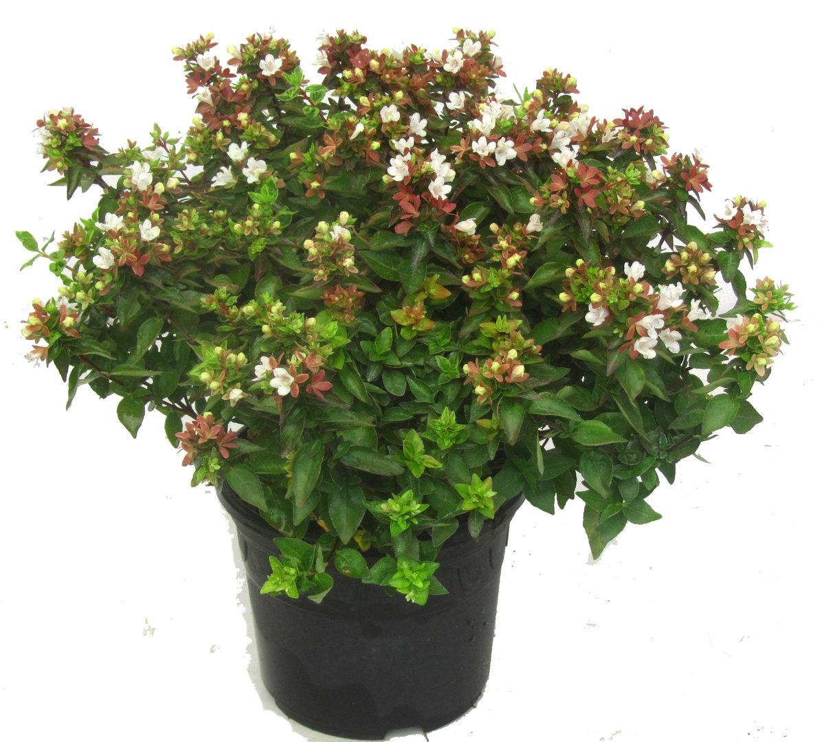 abelia grandiflora 39 little ladie 39 ablie pflanzen versand harro 39 s pflanzenwelt kaufen bestellen. Black Bedroom Furniture Sets. Home Design Ideas