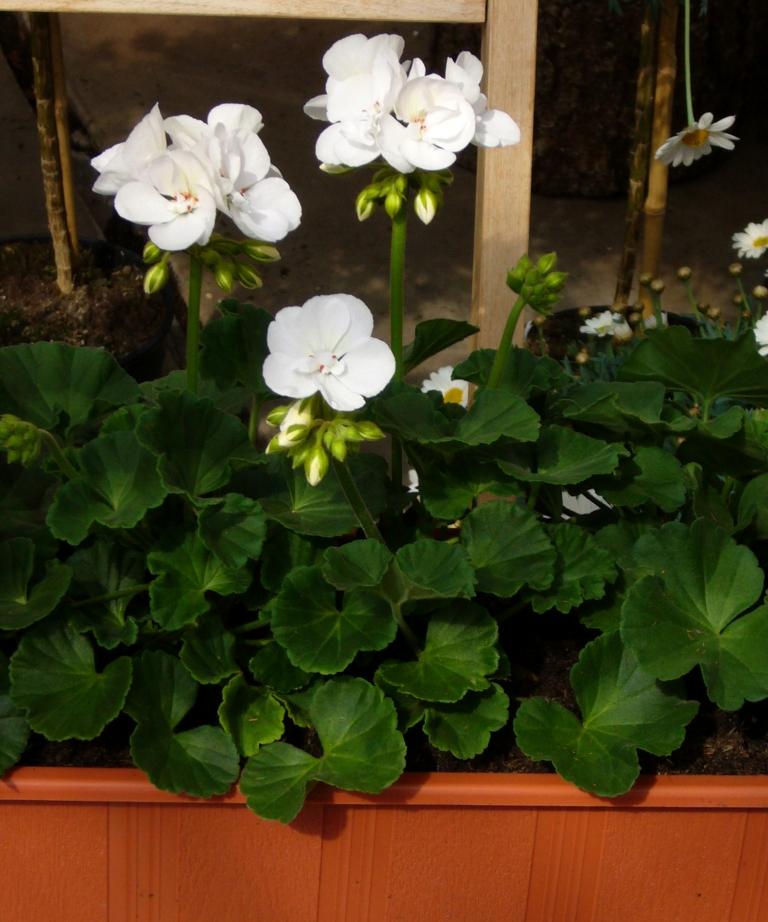 bepflanzter balkonkasten mit stehenden geranien einfarbig pflanzen versand f r die besten. Black Bedroom Furniture Sets. Home Design Ideas