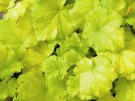 Heuchera cultivare  Hybrida 'Key Lime Pie' - Purpurglöckchen