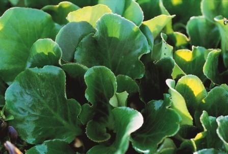 bergenia hybrida herbstbl te bergenie pflanzen versand f r die besten winterharten. Black Bedroom Furniture Sets. Home Design Ideas