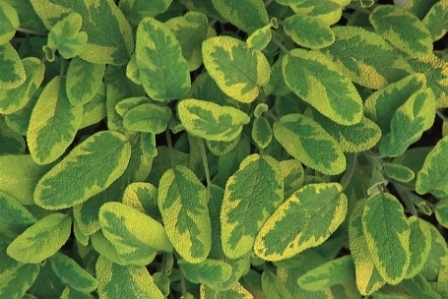 salvia officinalis icterina salbei pflanzen versand f r die besten winterharten. Black Bedroom Furniture Sets. Home Design Ideas