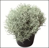 calocephalus brownii stacheldraht silberdraht pflanze kaufen versand f r die besten. Black Bedroom Furniture Sets. Home Design Ideas
