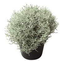 calluna vulgaris besenheide heidekraut rosa 12 cm topf. Black Bedroom Furniture Sets. Home Design Ideas