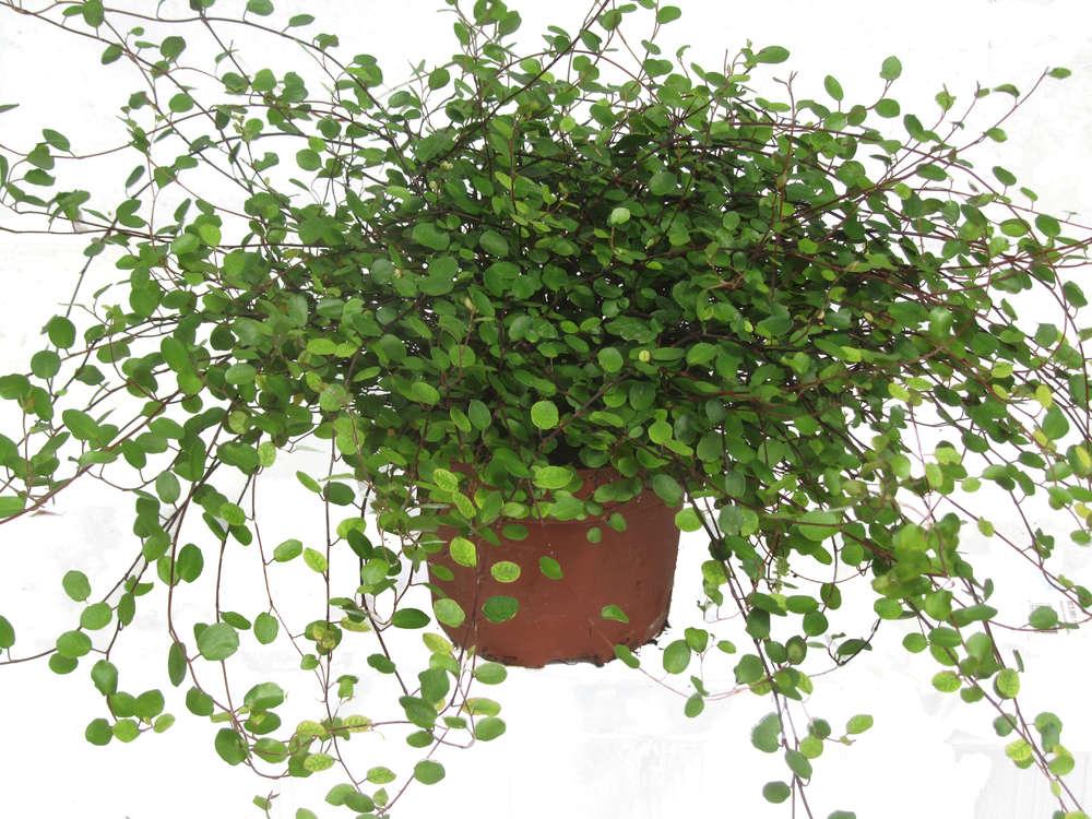 Muhlenbeckia Complexa Muhlenbeckie Oder Drahtwein Pflanzen