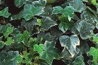 Rankende arten pflanzen versand f r die besten winterharten balkonpflanzen k belpflanzen - Rankende zimmerpflanzen ...