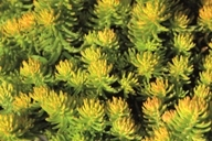 "Sedum reflexum ""Yellow Cushion""  -  Tripmadame"