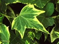 "hedera helix 'Yellow Ripple""  Efeu"