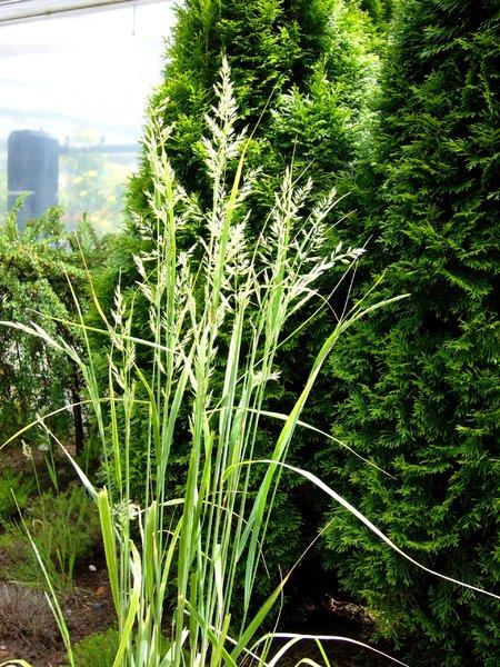 Zimmerpflanzen Gräser calamagrostis acutiflora quot overdam quot reitgras gräser pflanzen versand für die besten