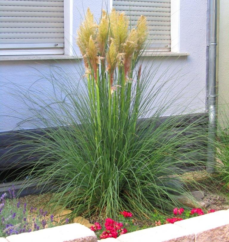Winterharte Gräser Garten gräser winterhart pflanzen versand harro s pflanzenwelt kaufen