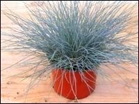 Winterhartes Ziergras pflanzen set für 60 cm balkonkästen frühling pflanzen versand für