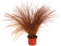"Carex petriei ""Bronze Form""  -  Segge   -Gräser"